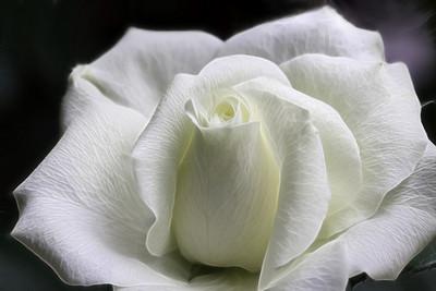 White miniature rose