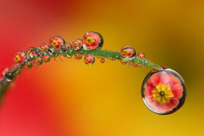 Multiple primrose dewdrop refraction